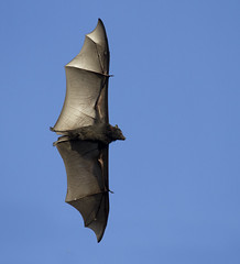 Black flying fox (boombana) Tags: bat sydney flyingfox 2016 blackflyingfox pteropus pteropusalecto blackfruitbat