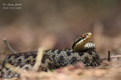 Adder (Female) 08-06-16 (wildlife_photo) Tags: canon photography reptile snake wildlife cannock 7d chase mk2 snakes staffordshire reptiles adder vipera berus