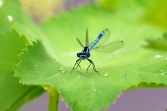 Coenagrion puella (AndyorDij) Tags: uk england insect unitedkingdom insects rutland damselfly waterdroplets 2016 empingham alchemillamollis ladysmantle bluedamselfly coenagrionpuella