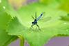 Coenagrion puella (AndyorDij) Tags: coenagrionpuella damselfly bluedamselfly insects insect waterdroplets alchemillamollis empingham england rutland uk unitedkingdom 2016 ladysmantle andrewdejardin