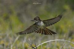 Manuelito, Stolid Flycatcher (Myiarchus stolid) (Juan Alberto Taveras) Tags: birds aves salinas republicadominicana bani manuelito stolidflycatchermyiarchusstolid