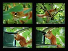 (karin_b1966) Tags: tree nature animal garden squirrel natur garten baum tier eichhrnchen 2016