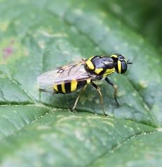 Oxycera rara (Bugbotherer) Tags: rara oxycera