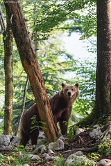 Brown bear 14 - Slovenia (Sinar84 - www.captures.ch) Tags: 2016 animal bear black blue brown brownbear cliff europa juni karst kocevska notranjska notranjskaregionalpark orange red rock slovenia slovenianbearscom summer trees white