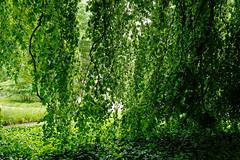 Buche in Hiltrup - 2016 - 0007_Web (berni.radke) Tags: tree giant baum beech mnster buche colossus riese hiltrup