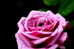 Rose II (sydneykmking) Tags: pink light plant flower art texture love water beautiful sunshine rain rose bright rainstorm amature