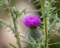 Thistle Day. (Omygodtom) Tags: wild flower nature real outdoors star golden flickr natural diamond nikkor thorn wildflower thisel d7100 nikon70300mmvrlens
