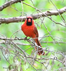Male Cardinal (Bruce Shapka) Tags: cardinal guelph goslinggardens