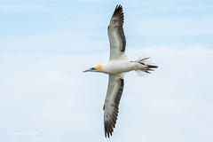 Gannet at Bempton Cliffs D50_1689.jpg (Mobile Lynn) Tags: wild england bird nature birds fauna unitedkingdom wildlife waterbird gb shag waterbirds gannet pelecaniformes bempton