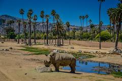 Rhino at San Diego Zoo Safari Park - Escondido CA (mbell1975) Tags: california park ca usa animal animals america zoo us san unitedstates sandiego wildlife diego calif safari cal american rhino parc escondido