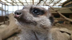 Cute Meerkat (pepemczolz) Tags: meerkat compare market insurance animal ponderosa petting zoo