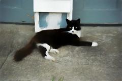 Neighbor Cat (HSS) (WilliamND4) Tags: painterly nikon hss nikon1 sliderssunday nikonv3