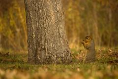 EasternFoxSqurrielNov-11-2-2014 (njumer) Tags: life wild animal animals mammal squirrel squirrels fox eastern mammals