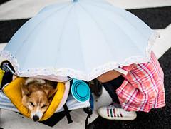 Parasol (moaan) Tags: girl japan corgi dof kobe parasol jp utata rest welshcorgi kota hyogo michan olddog 2015 ef50mmf14usm thelittledoglaughed canoneos7dmarkii