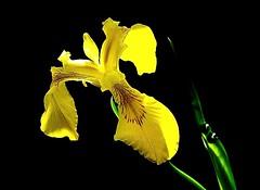 Iris sauvage jaune (mamietherese1) Tags: ngc npc coth world100f earthmarvels50earthfaves yellowyelloweverywhere coth5 200v200c2000v fleursetpaysages flickrbronzetrophygroup