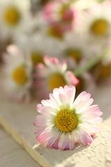 simpledaisy (stgio) Tags: flowers nature spring daisy wildflower springtime margherite