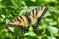 2015 Eastern Tiger Swallowtail (Pterourus glaucus) (Explored) (DrLensCap) Tags: park chicago robert nature butterfly bug insect illinois village tiger ngc north center il eastern kramer swallowtail glaucus pterourus