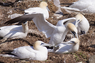 Mating gannets