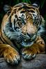 SDZSP 130-1 (craigchaddock) Tags: tiger sumatrantiger conrad safaripark pantheratigrissumatrae sandiegozoosafaripark