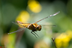 Dragonfly in flight (PatrickWilmink) Tags: macro inflight pentax dragonfly bokeh groningen stadspark k500