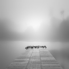 seagulls & fog (nlwirth) Tags: sanfrancisco seagulls fog dock yup lakemerced zenful nlwirth