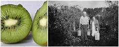 Kiwifruit and Orchard (sallyNZ) Tags: dad orchard aunty kiwifruit ribbet childhoodmemory archivedphoto datedabout1949