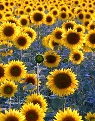 """""""Souleiado"""" (clairetresse) Tags: blue brown france green yellow alpes provence tournesols haute"""