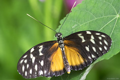 Butterfly 2016-34 (michaelramsdell1967) Tags: flowers light orange plant black color macro green love nature beautiful beauty animal closeup butterfly bug garden insect leaf nikon natural vibrant wildlife butterflies vivid insects bugs photograph upclose