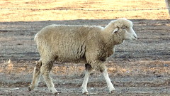 Merino first cross or comeback breed of sheep - NSW 2016 (2) (nicephotog) Tags: wool animal yard rural sheep farm australia merino nsw comeback wether paddock ewe firstcross
