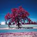 valley oak infrared. marysville, ca. 2016.