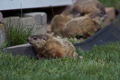 Ground Hogs (Paul Pylypyszyn) Tags: nature animal canon puppy woods connecticut ct woodchuck groundhog t3i chucklings