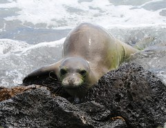 Endangered Hawaiian Monk Seal Resting On The Shoreline (fethers1) Tags: kauai hawaiianmonkseal kauaiwildlife kauaivacationmay2016