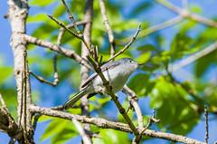 Blue-gray Gnatcatcher - Polioptila caerulea (Bill VanderMolen) Tags: ohio bird warbler bluegraygnatcatcher polioptilacaerulea woodwarbler woodwarblers mageemarsh ohiobirds mageemarshwildlifearea ohiobirding warblermigratory