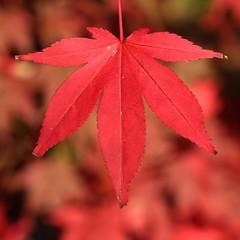 Maple Leaf (Treflyn) Tags: autumn fall japanese leaf maple arboretum gloucestershire westonbirt