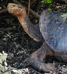Dome Shaped Tortoise (Susan Roehl) Tags: galapagos2013 ecuador southamerica santacruzisland giantgalapagostortoise domeshaped sueroehl naturalexposures photographictours outdoor animal reptile landlover coth5