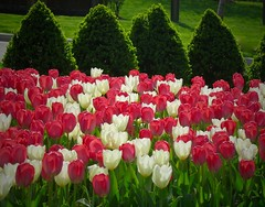 The red white & green (LarryJay99 ) Tags: flowers white washingtondc dc tulips foliage stems greenery reds shrubs 61305mm