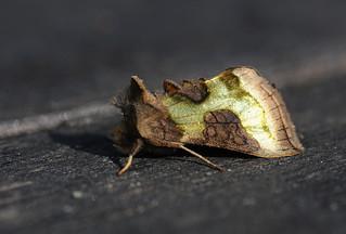 Burnished Brass  (Diachrysia  chrysitis )
