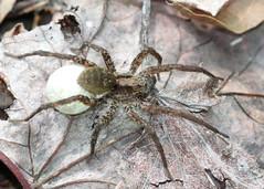 Spider with Egg sack at Catfish Pond (Tombo Pixels) Tags: spider newjersey egg nj sack catfishpond twb1 dwgnra naturewalk2016 catfishpond160566