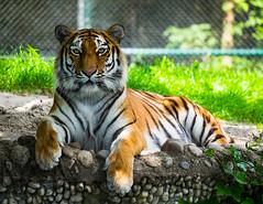 Siberian tiger (crwl) Tags: tiger siberiantiger munich 2016 amurtiger deutschland germany hellabrunn mnchen saksa tierpark tiikeri zoo