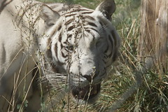 037_Great Cats Park_White Bengal Scooby (steveAK) Tags: greatcatsworldpark tiger bengaltiger