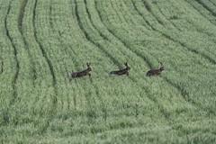 0362 Three Of A Kind (Hrvoje Simich - gaZZda) Tags: animals rabbits green nature wild three nikon nikond750 nikkor283003556 gazzda hrvojesmich