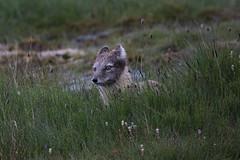 Arctic Fox at Bjrndalen S24A0740 (grebberg) Tags: bjrndalen spitsbergen svalbard july 2016 arcticfox vulpeslagopus fox vulpes