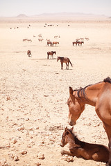#02 Garub Wild Horses, Namibia (nanonyous) Tags: namibia travel horse horses equine desert desolate survival arid vast landscape garub sand oryx ostrich oryxes ostriches herd foal