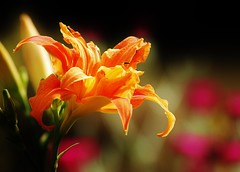 008 (3) Splash of Colour (srypstra) Tags: day lily flower