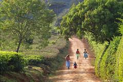 Malawi 2016 (d.vanderperre) Tags: africa malawi rural teaestate satemwateaestate satemwa walking filed teafield