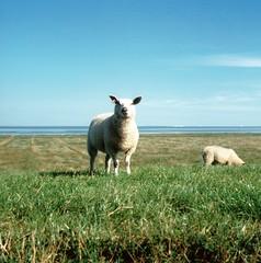 Schafe 1 (Turikan) Tags: yashica mat 124g fuji velvia 50 diafilm slide film sheep schafe friesland norddeutschland deich
