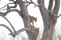 DSC_4247.JPG (manuel.schellenberg) Tags: namibia etosha animal nationalpark leopard