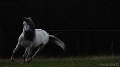 Storm (mari-mi) Tags: lighting horse storm animal pre thunder stallion andalusian