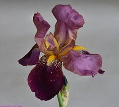 Iris. (Annelise LE BIAN) Tags: iris france rose closeup fleurs violet mauve fleursmauves fleursroses fabuleuse fantasticnaturegroup