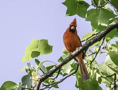 Virginia Cardinal